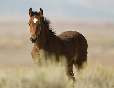 Photograph - Wild Mustang Colt by Chris LeBoutillier