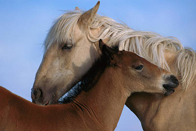 Palomino Foal Photograph - Wild Mustang Filly And Foal by Yva Momatiuk and John Eastcott