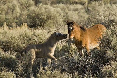 Photograph - Wild Mustang Foal Horses by Waterdancer