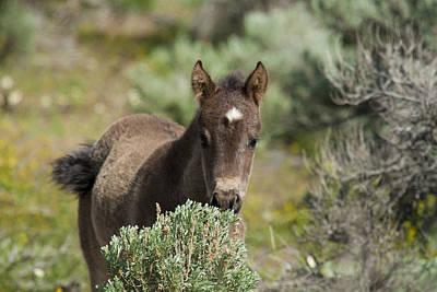 Photograph - Wild Mustang Foal by Waterdancer