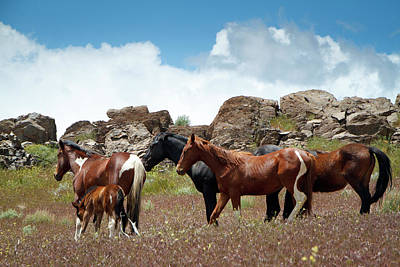 Photograph - Wild Mustang Herd In The Springtime. by Waterdancer