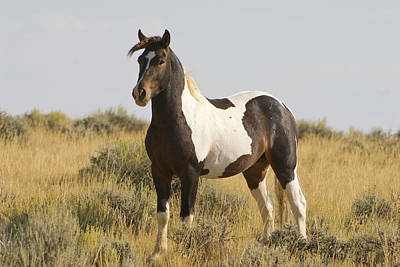 Photograph - Wild Mustang Horse by Chris LeBoutillier