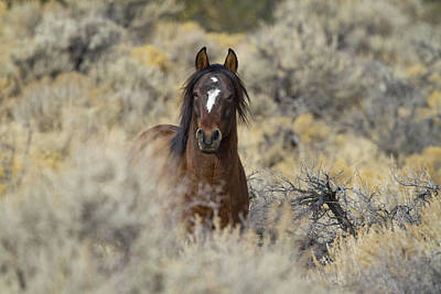 Photograph - Wild Mustang Stallion by Waterdancer