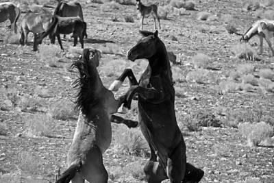 Photograph - Wild Mustang Stallions Fighting - Nevada by Waterdancer