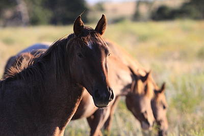 Photograph - Wild Mustangs by Kate Purdy