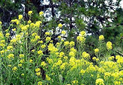 Photograph - Wild Mustard by Will Borden