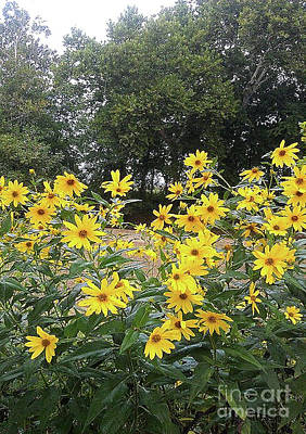 Wild Narrow Leaf Sunflowers Art Print