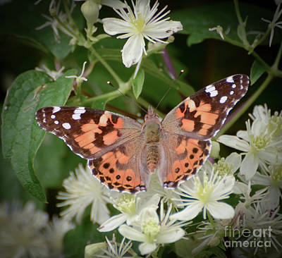 Photograph - Wild Nature - Painted Lady Butterfly by Kerri Farley
