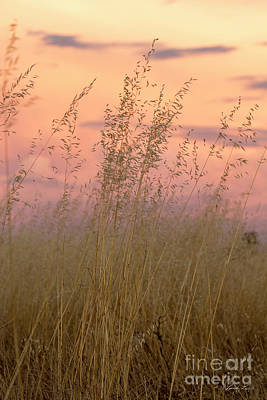 Photograph - Wild Oats by Linda Lees