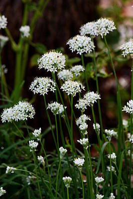 Photograph - Wild Onions by Sheila Brown