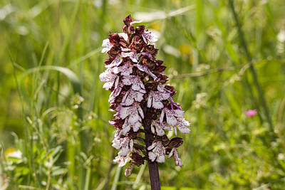 Photograph - Wild Orchid In Meadow  by Cliff Norton