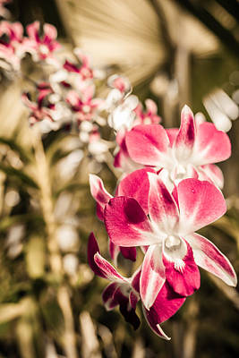 Photograph - Wild Orchids by Daniel Marcion