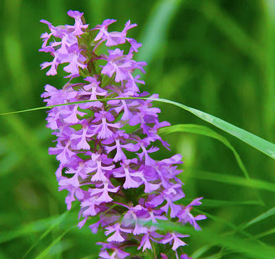 Photograph - Wild Orchids by Susan Crossman Buscho