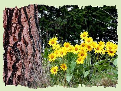 Photograph - Wild Oyama Sunflowers by Will Borden