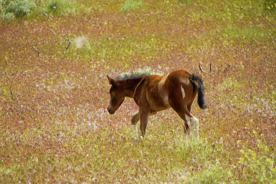 Photograph - Wild Paint Foal In The Springtime. by Waterdancer