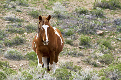 Photograph - Wild Paint Mustang Mare  by Waterdancer
