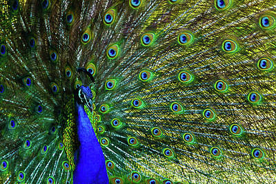 Photograph - Wild Peacock by Robin Blaylock