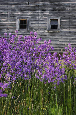 Photograph - Wild Phlox - Windows - Old Barn by Nikolyn McDonald