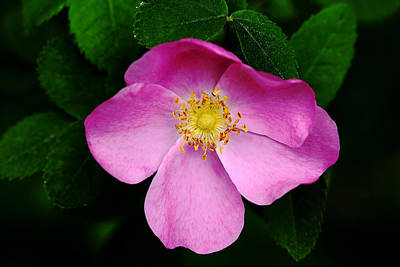 Wild Pink Rose Art Print by Debbie Oppermann