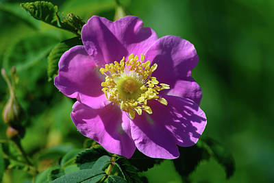 Photograph - Wild Pink Rose by Tikvah's Hope