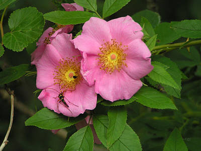 Photograph - Wild Pink Roses by rd Erickson
