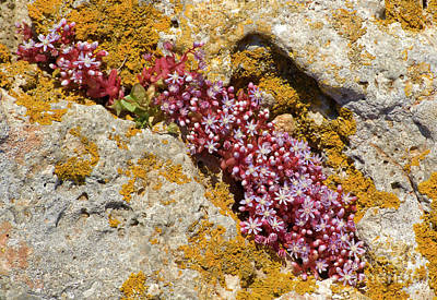 Photograph - Wild Pink Succulents by Mary Attard