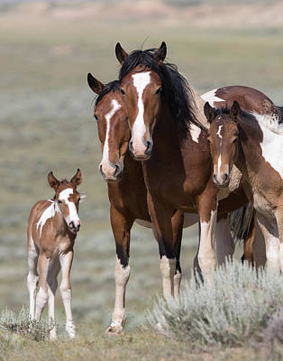 Pinto Horses Photograph - Wild Pinto Family by Carol Walker