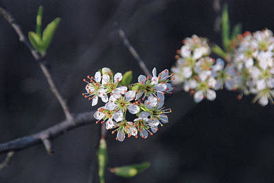 Photograph - Wild Plum Blooms by Robyn Stacey