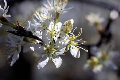 Photograph - Wild Plum Blossom by Scott Carlton