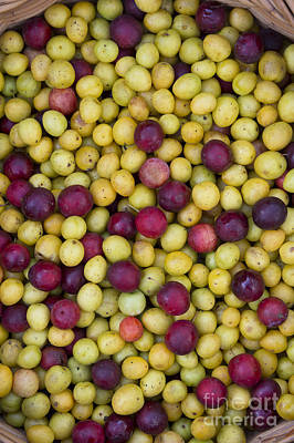 Wild Plum Harvest  Art Print by Tim Gainey