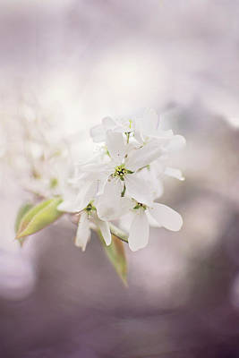 Vermeer Rights Managed Images - Wild Plum Tree Blossom Royalty-Free Image by Gwen Gibson