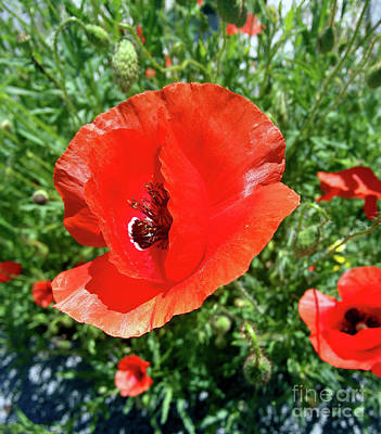 Photograph - Wild Poppies by Jasna Dragun