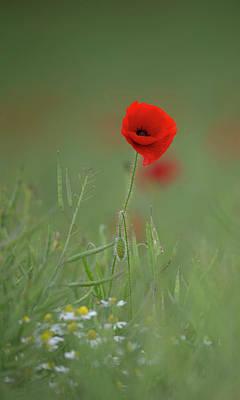 Photograph - Wild Poppy by Peter Walkden