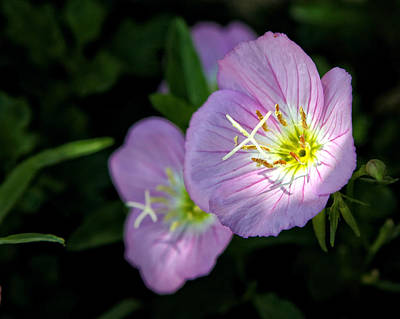 Royalty-Free and Rights-Managed Images - Wild Primrose by Michael Dougherty