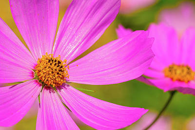 Photograph - Wild Purple Daisy Pair by SR Green