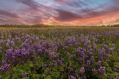 Photograph - Wild Purple Lupine Field #2 by Patti Deters