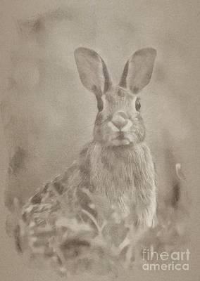 Kingfisher Drawing - Wild Rabbit by John Springfield