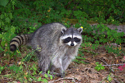 Photograph - Wild Raccoon by Jeanette C Landstrom