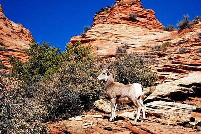 Wild Ram At Zion Art Print