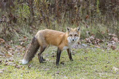 Photograph - Wild Red Fox by Josef Pittner