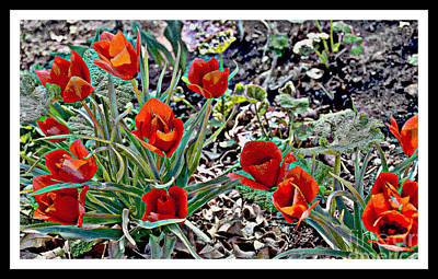 Photograph - Wild Red Tulips by Diane montana Jansson