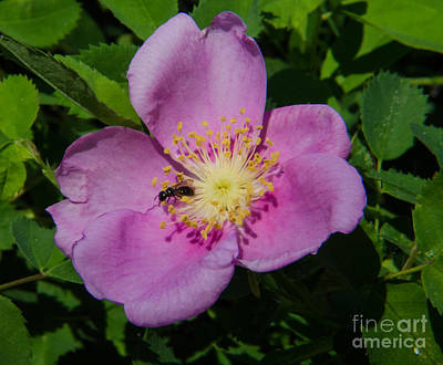 Rosa Acicularis Photograph - Wild Rose Bloom by Rex Wholster