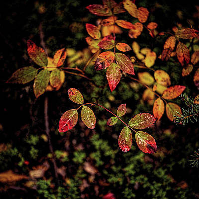Photograph - Wild Rose Colors by Fred Denner