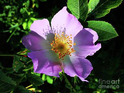 Photograph - Wild Rose by Jasna Dragun