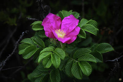 Photograph - Wild Rose by John Meader