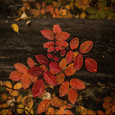 Photograph - Wild Rose Leaves by Fred Denner
