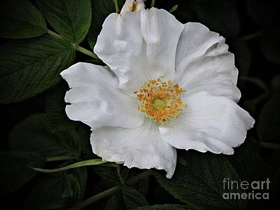 Photograph - Wild Rose by Marcia Lee Jones