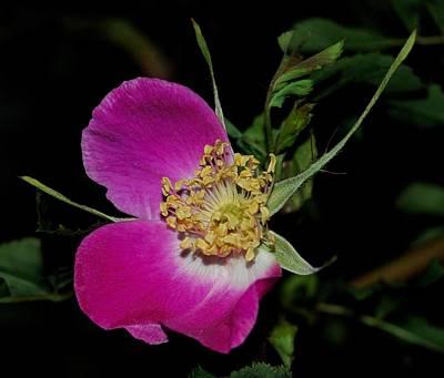 Wild Rose Art Print by Marilynne Bull