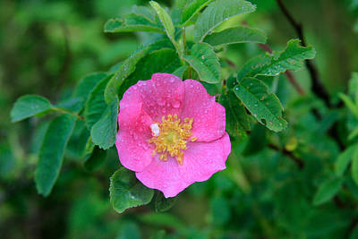 Photograph - Wild Rose On Green by Bonnie Follett