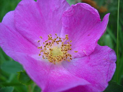 Photograph - Wild Rose Up Close by Kent Lorentzen